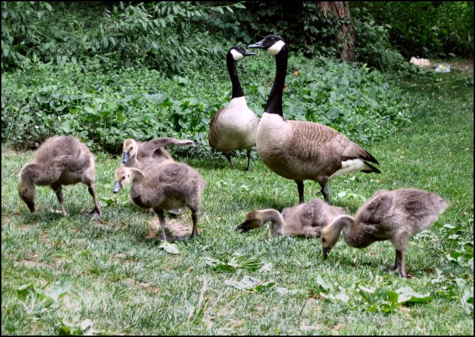Goose Family in Central Park