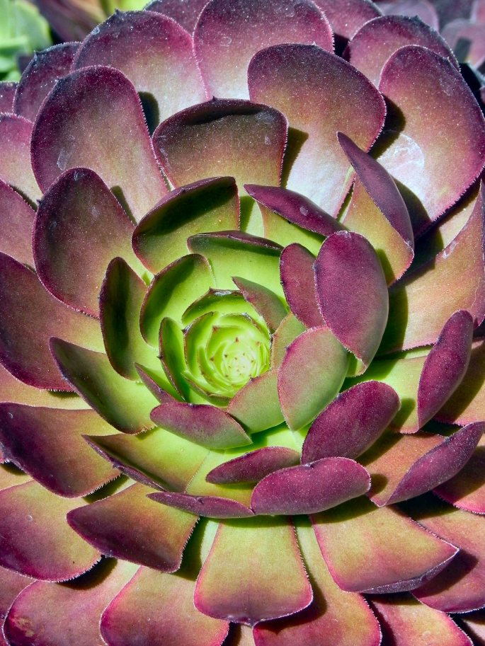 An Aeonium, which is a red cactus--close up.