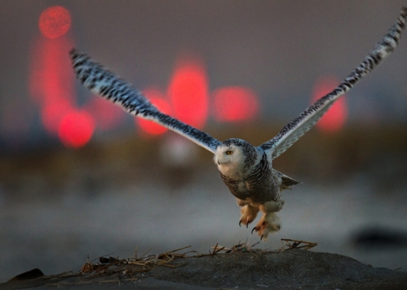 This owl alights at Breezy Point, with the Manhattan skyline lit by the sunset glow in the background.