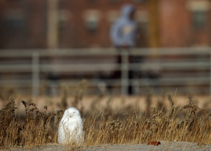 """This owl spent the day in the piping plovers nesting ground at Arverne Beach, New York. Well hidden in the dried stalks and grass, people walked by on the boardwalk and the water's edge, completely unaware.""..From Audubon Newletter"