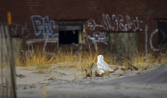 A Snowy Owl visits Queens, New York. (Photo by Francois Portmann)