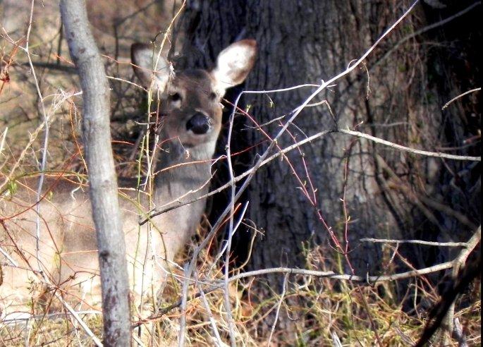 White Tailed Deer [Odocolleus virginianus]