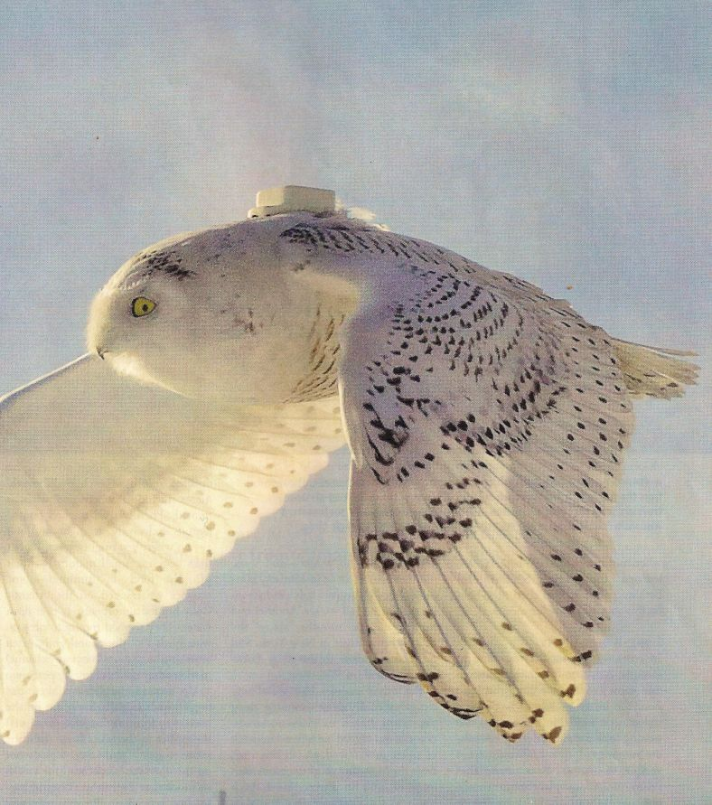 Photo shows a Snowy Owl flying over Pennsylvania.  It has a tracking device on  the top of it.  There are around 23 owls with these tracking devices.  The tracking devices cost $3,000 each.