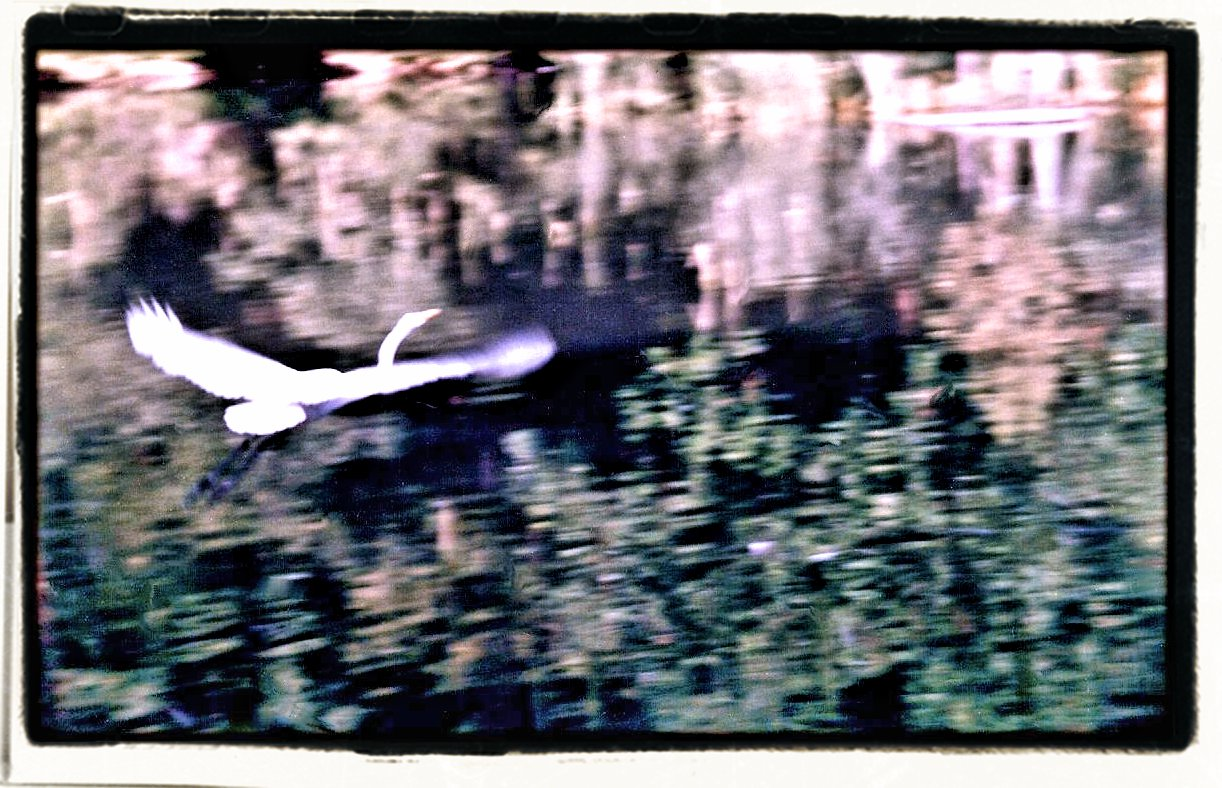 Egret flying over The Pond in Central Park.