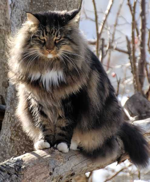 Norwegian Forest Cat. Photographer Unknown