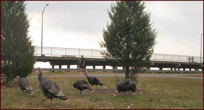 Wild Turkeys near the FDR Boardwalk in Midland Beach, Staten Island. They never heard of boundaries.