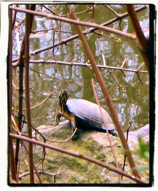 Turtle I unexpectedly came upon in Central Park.