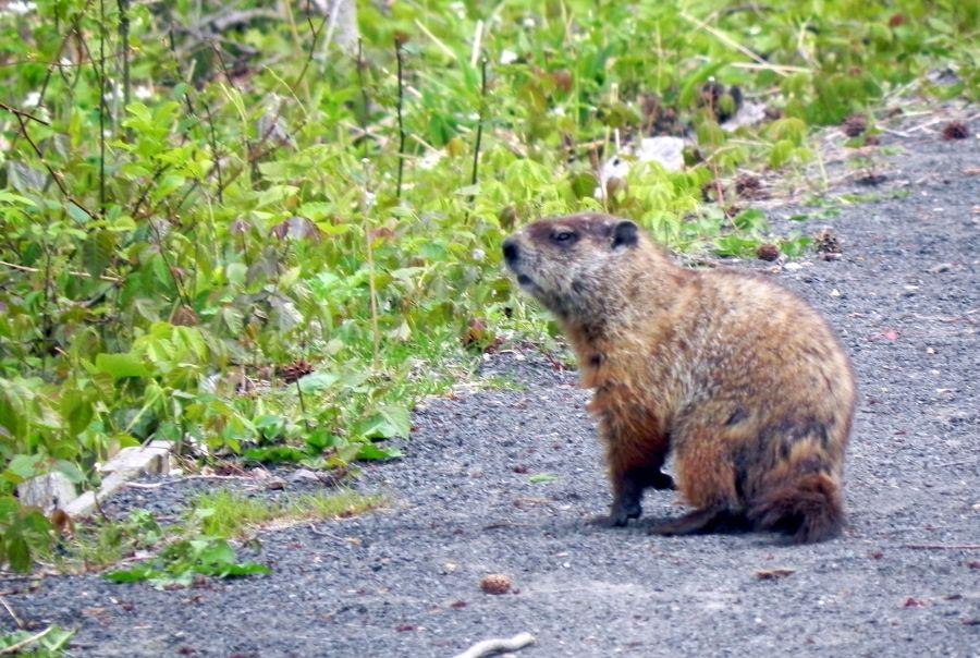 groundhog in the Greenbelt