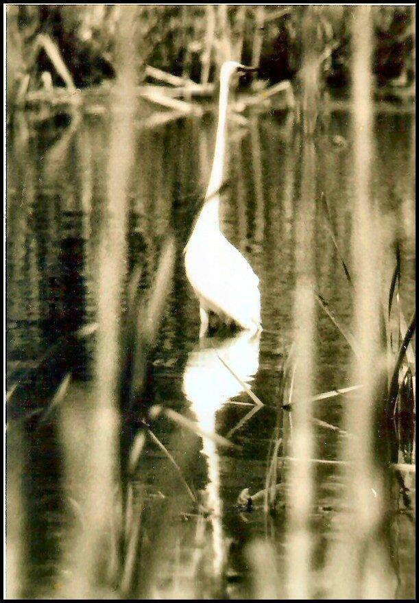 Egret on lake in Staten Island